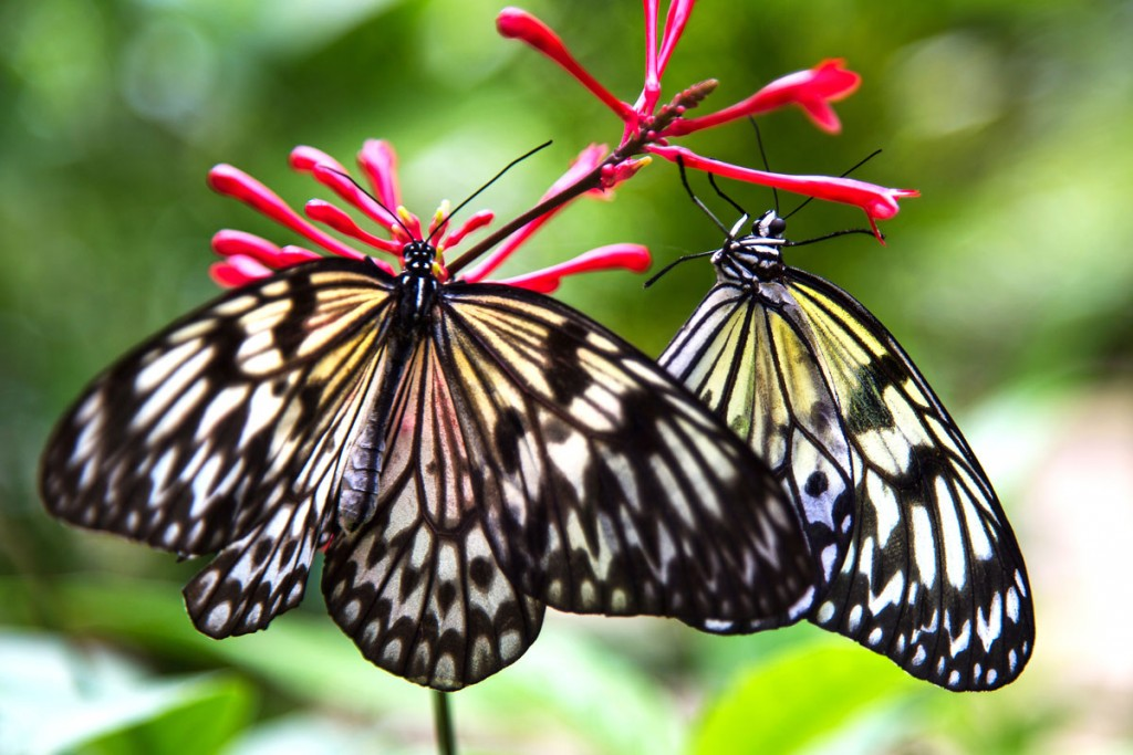 butterflies Hawaii